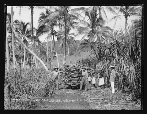 Fijian Sugar Field, Mango [Mago], Loading The Cane