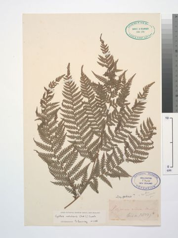 P009455; Cyathea medullaris (G.Forst.) Sw.; detail: Banks and Solander Collection (image/tiff)