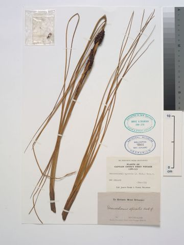 SP078862; Desmoschoenus spiralis (A.Rich.) Hook.f.; detail: Banks and Solander Collection (image/tiff)