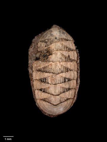 To Museum of New Zealand Te Papa (M.000267; Callochiton kapitiensis Mestayer, 1926; holotype)