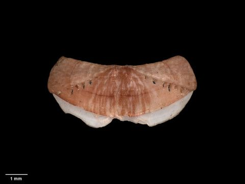 To Museum of New Zealand Te Papa (M.003975; Icoplax subeudoxus Iredale & Hull, 1930; holotype)