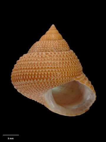 To Museum of New Zealand Te Papa (M.075141; Calliostoma jamiesoni B. Marshall, 1995; holotype)