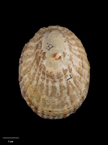 To Museum of New Zealand Te Papa (M.008565; Cellana strigilis oliveri Powell, 1955; holotype)