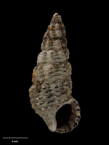 To Museum of New Zealand Te Papa (M.000144; Cerithium alternatum Hutton, 1873; holotype)