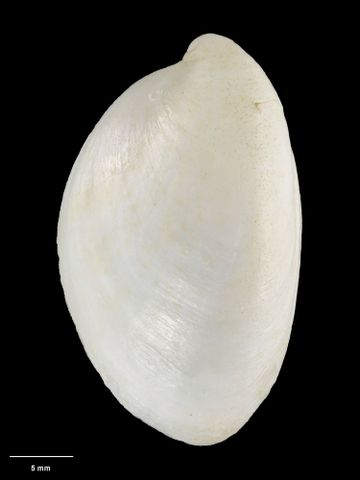 To Museum of New Zealand Te Papa (M.154157; Grandicrepidula collinae B. Marshall, 2003; holotype)
