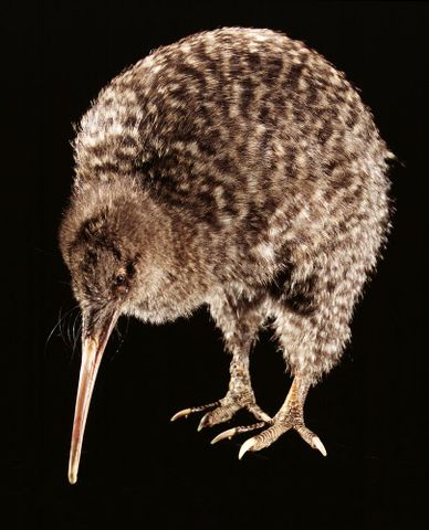 Great Spotted Kiwi/Roa - Apteryx haastii - OR.023042 (image/tiff)