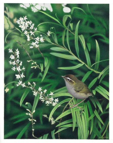 2006-0010-1/4; Bush Wren / Matuhi. Xenicus longipes. From the series: Extinct Birds of New Zealand.; Martinson, Paul;  Masterton (image/tiff)