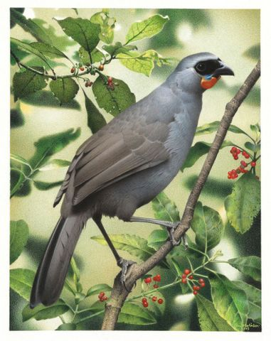 South Island kokako - the grey ghost