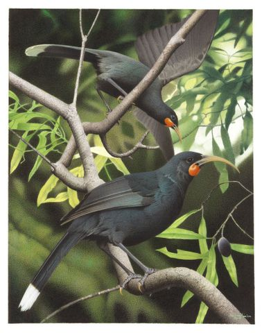 Huia in the Te Papa bird collection