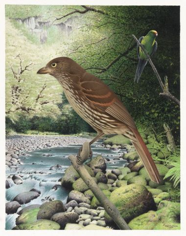 2006-0010-1/12; South Island Piopio. Turnagra capensis. From the series: Extinct Birds of New Zealand.; Martinson, Paul;  Masterton (image/tiff)
