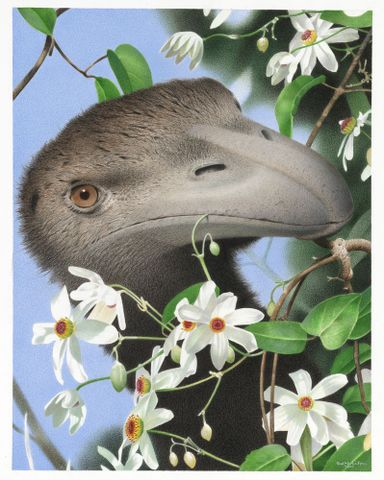 North Island Giant Moa. Dinornis novaezealandiae. From the series: Extinct Birds of New Zealand.