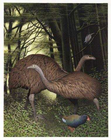 2006-0010-1/18; South Island Giant Moa. Dinornis robustus. From the series: Extinct Birds of New Zealand.; Martinson, Paul;  Masterton (image/tiff)
