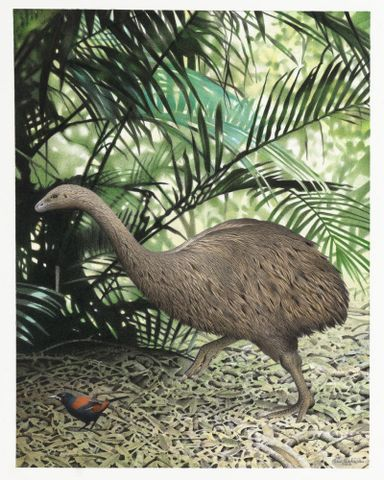 2006-0010-1/22; Little Bush Moa. Anomalopteryx didiformis. From the series: Extinct Birds of New Zealand.; Martinson, Paul;  Masterton (image/tiff)