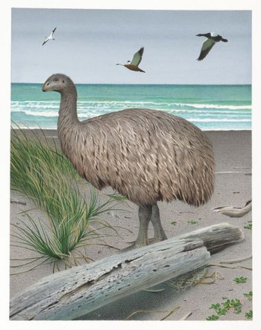 2006-0010-1/24; Stout-legged Moa. Euryapteryx curtus. From the series: Extinct Birds of New Zealand.; Martinson, Paul;  Masterton (image/tiff)