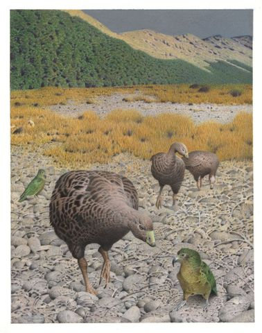 2006-0010-1/27; South Island Goose. Cnemiornis calcitrans. From the series: Extinct Birds of New Zealand.; Martinson, Paul;  Masterton (image/tiff)