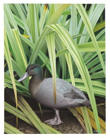 2006-0010-1/ 34; Chatham Island Duck. Pachyanas chathamica. From the series: Extinct Birds of New Zealand.; Martinson, Paul;  Masterton (image/tiff)