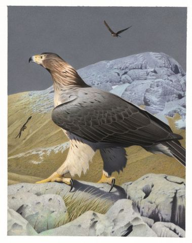 2006-0010-1/ 37; Haast's Eagle. Harpagornis moorei. From the series: Extinct Birds of New Zealand.; Martinson, Paul;  Masterton (image/tiff)