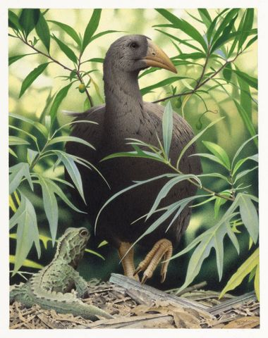 2006-0010-1/40; North Island Adzebill. Aptornis otidiformis. From the series: Extinct Birds of New Zealand.; Martinson, Paul;  Masterton (image/tiff)