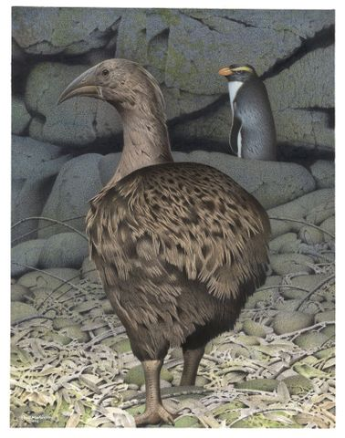 2006-0010-1/41; South Island Adzebill. Aptornis defossor. From the series: Extinct Birds of New Zealand.; Martinson, Paul;  Masterton (image/tiff)