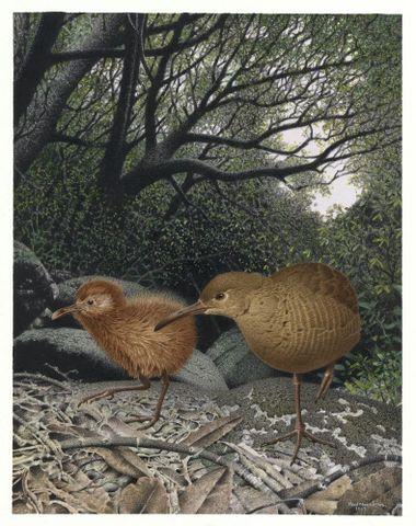 Hutton's Rail / Matirakahu. Cabalus modestus. From the series: Extinct Birds of New Zealand.
