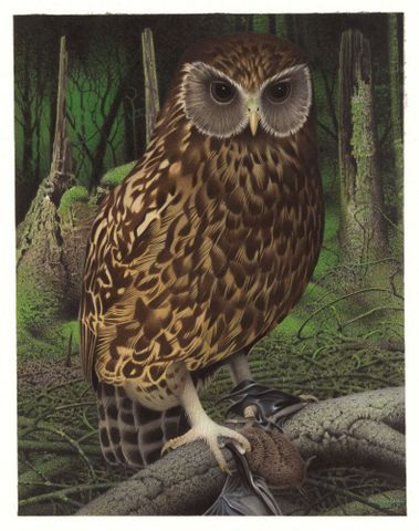 Laughing Owl / Whekau . Sceloglaux albifacies. From the series: Extinct Birds of New Zealand.