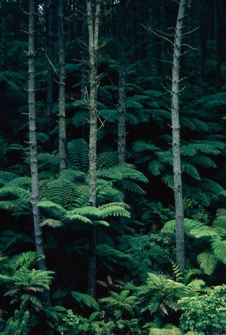 CT.032246; New Zealand Scenery: Native Forest; 1960 s - 1980 s; Brake, Brian (image/tiff)