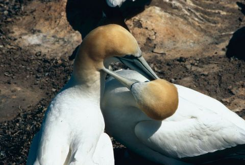 CT.032312; New Zealand Birds: Gannets, Cape Kidnappers; 1960 s - 1980 s; Brake, Brian (image/tiff)
