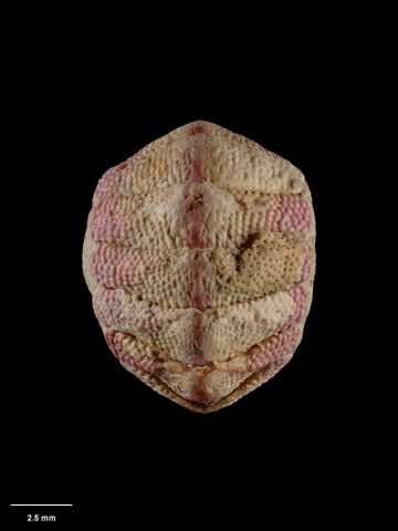 To Museum of New Zealand Te Papa (M.001388; Acanthochiton foveauxensis kirki Mestayer, 1926; holotype)