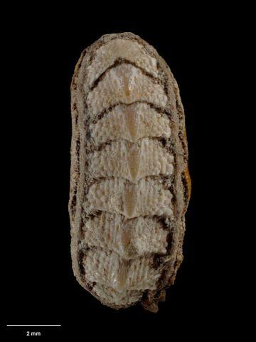 To Museum of New Zealand Te Papa (M.000274; Tonicia rubiginosa Hutton, 1872; holotype)