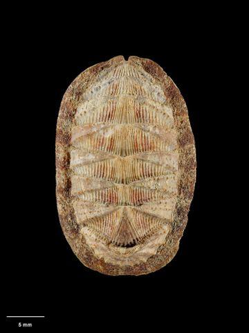 To Museum of New Zealand Te Papa (M.001121; Lorica haurakiensis Mestayer, 1921; holotype)