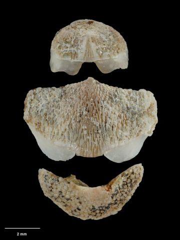 To Museum of New Zealand Te Papa (M.001585; Notoplax (Amblyplax) oliveri Ashby, 1926; holotype)