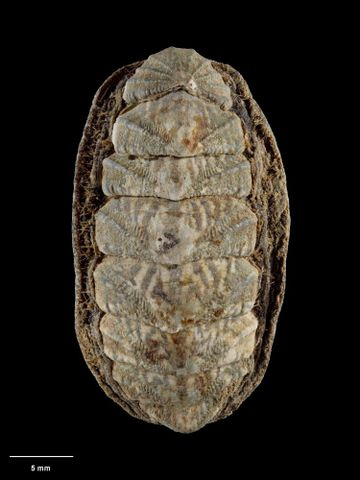 To Museum of New Zealand Te Papa (M.001207; Plaxiphora (Maorichiton) lyallensis Mestayer, 1921; holotype)