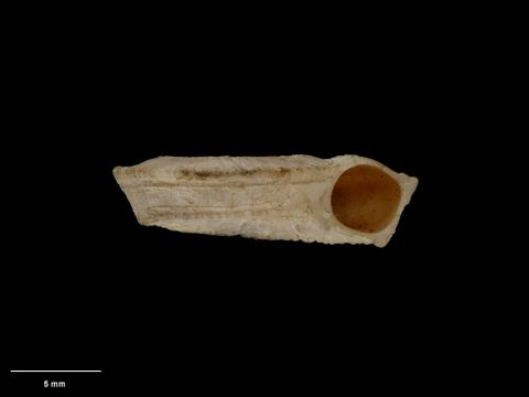 To Museum of New Zealand Te Papa (M.001631; Mangonuia bollonsi Mestayer, 1930; holotype)