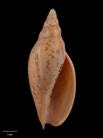 To Museum of New Zealand Te Papa (M.160710; Alcithoe colesae Bail & Limpus, 2006; holotype)