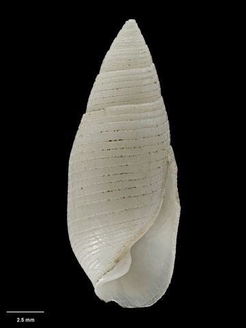 To Museum of New Zealand Te Papa (M.000050; Buccinulus kirki Hutton, 1873; holotype)