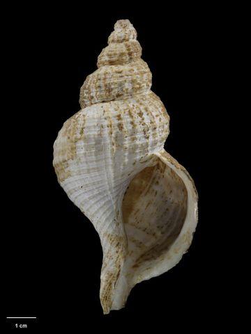 To Museum of New Zealand Te Papa (M.001399; Fusitriton futuristi Mestayer, 1927; holotype)