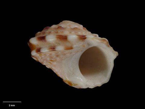 To Museum of New Zealand Te Papa (M.001076; Liotia (Arene) shandi Hutton, 1873; holotype)
