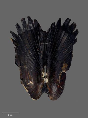 To Museum of New Zealand Te Papa (M.059662; Acharax clarificata Dell, 1995; holotype)
