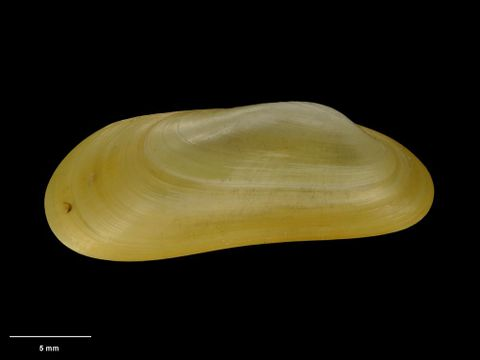 To Museum of New Zealand Te Papa (M.075026; Adipicola osseocola Dell, 1987; holotype)