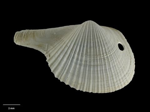To Museum of New Zealand Te Papa (M.015006; Cardiomya rectimarginata Dell, 1962; holotype)