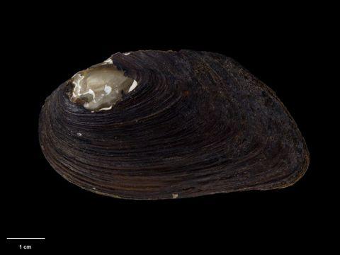 To Museum of New Zealand Te Papa (M.125074; Diplodon menziesi acuta Suter, 1907; lectotype)