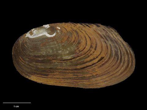 To Museum of New Zealand Te Papa (M.126976; Diplodon menziesi lucasi Suter, 1905; lectotype)