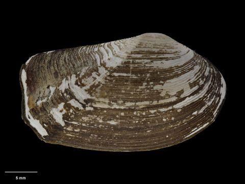 To Museum of New Zealand Te Papa (M.058364; Neilo blacki B. Marshall, 1978; holotype)