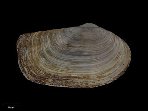 To Museum of New Zealand Te Papa (M.009202; Neilo rugata Dell, 1956; holotype)