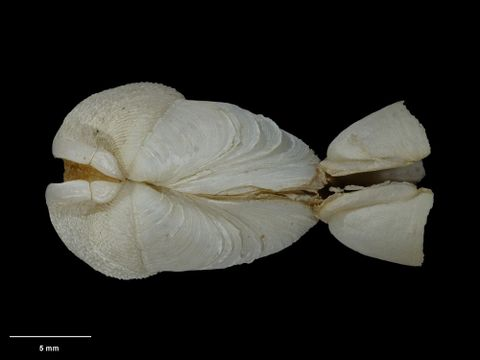 To Museum of New Zealand Te Papa (M.029171; Pholadidea acherontea Beu & Climo, 1974; holotype)