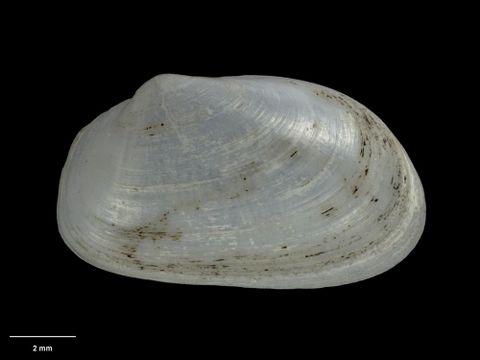 To Museum of New Zealand Te Papa (M.018490; Thracia reinga Crozier, 1966; holotype)