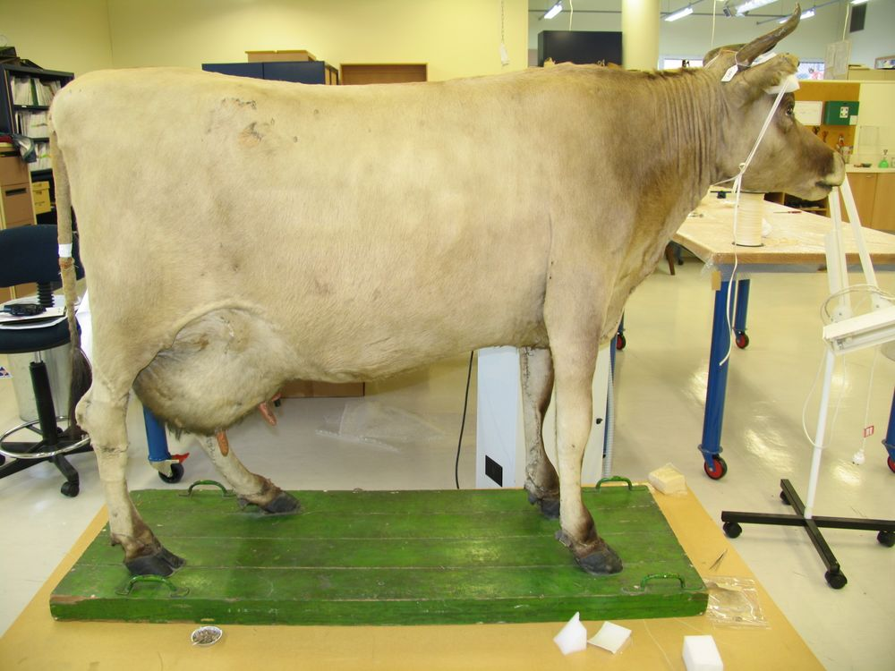 TMP000048; Taxidermied Jersey cow; 1950s; Edward Gerrard & Sons