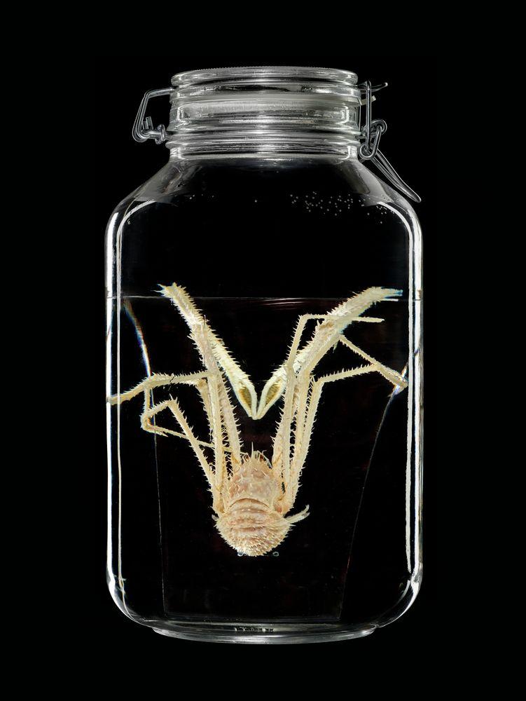 CR.019843; Gastroptychus rogeri Baba, 2000; ethanol 70% ; view 1