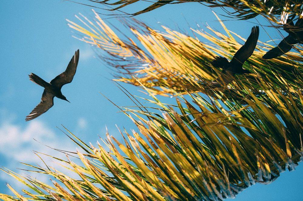 Birds among palm fronds, Atafu, Tokelau