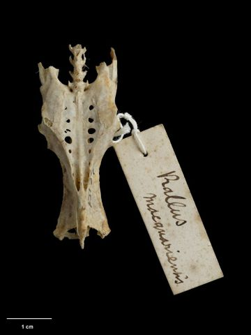 OR.015139; Rallus philippensis macquariensis; holotype (dorsal) (image/tiff)